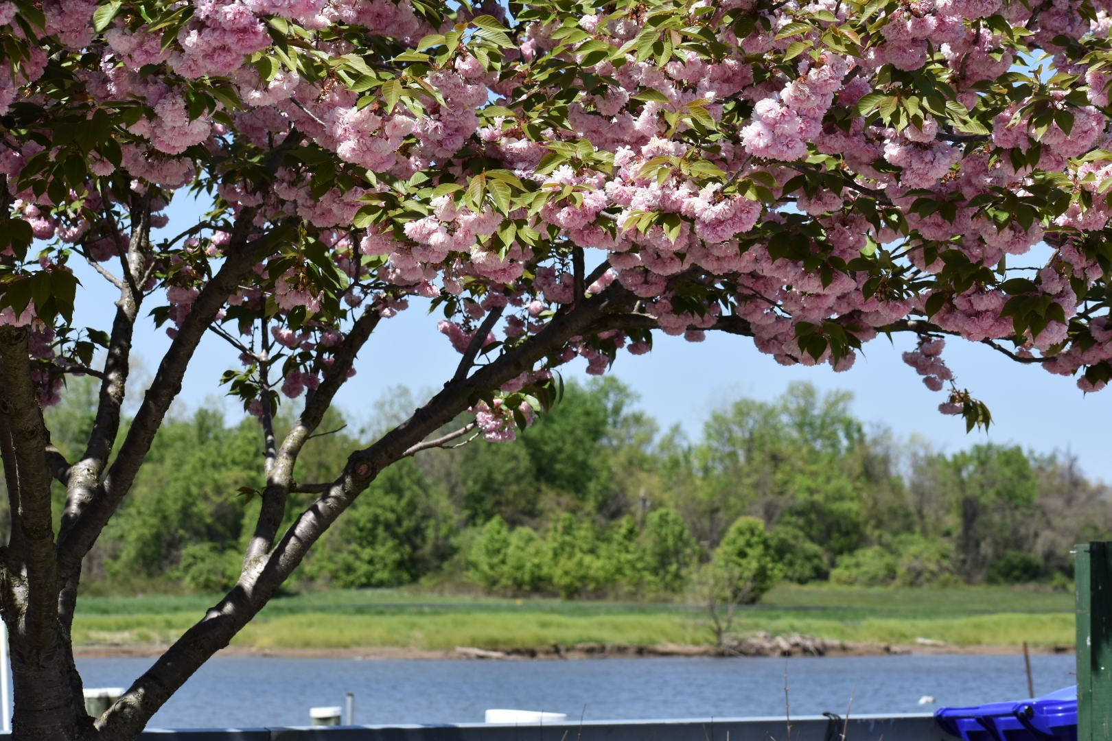 Cherry tree at Bladensburg Waterfront Park